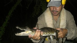 Belize crocodile tagging