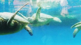 Green Sea Turtles at Maui's Ocean Center