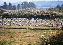 A herd of cranes