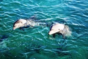 Snorkeling and diving with dolphins in eilat israel