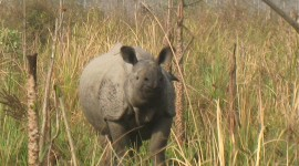 Indian One-horned Rhino Are Being Reintroduced to Manas. Photo credit: I. Robinson