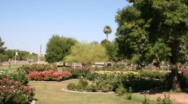 Desert Rose Garden in the Shadow of Palm Trees