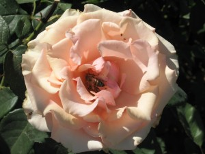 Rosa Jean Kennelly Attracts a Bee Good for the Garden (photo credit: Chris Eirschele c 2012)