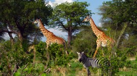 Giraffes and zebras are among the wild animals that are plentiful in Tanzania's Ruaha National Park. (photo credit: Katherine Rodeghier, c 2012)