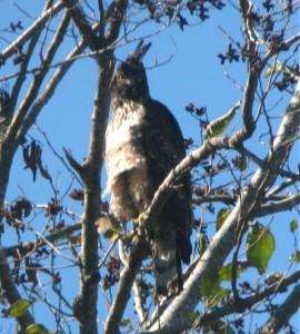 Mountain Hawk Eagle in India