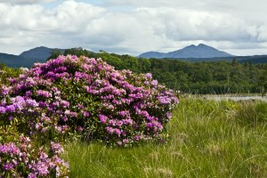 Isle of Eriska Hotel mountain view with rhododendrons (Stillman Rogers photo 2012)