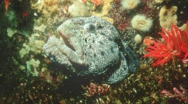 wolf eel.  photo by Yvette Cardozo