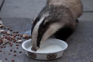 Badger eating dinner at Isle of Eriska Hotel (Stillman Rogers Photo 2012)