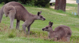 two kangaroos adjusted cropped final