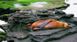 A sea lion sleeps while sally lightfoot crabs scamper on the Galapagos Islands. (photo credit: Katherine Rodeghier c 2012)