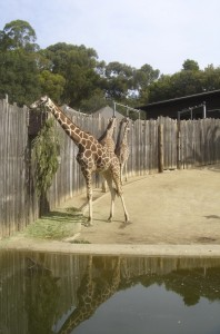 Giraffes at the African Savannah of the Oakland Zoo (Credit: Cindy Dumollard)