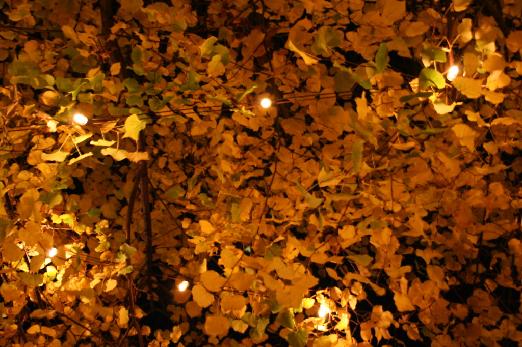 Yellow Foliage of Linden Trees Turn Golden Under an Evening Sky (photo credit: Chris Eirschele, c 2008)