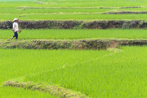 Rice paddies in countryside outside Yen Village, 37 km north of Hanoi in northern Vietnam. Photo by Yvette Cardozo