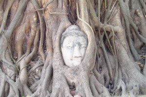 A Buddha head entangled in the roots of a fig tree, Ayutthaya, Thailand