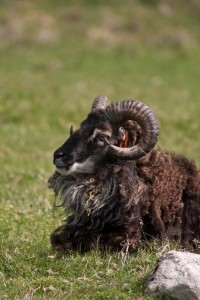 Soay sheep are descendants of a prehistoric sheep now feral and inhabiting Hirta Island in the St Kilda Archipelago (Photo copyright Stillman Rogers Photography)