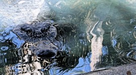 Americqn Alligators Hunt with Eyes Ears and Nose