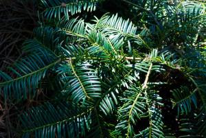 Detail of a torreya tree at Goodwood