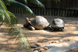 Galapagos Tortoises at St. Augustine Alligator Farm and Zoological Park