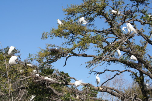 Wading Birds Build Nests in Trees Above Alligators in Florida
