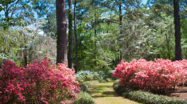 Azaleas in bloom at Maclay Gardens