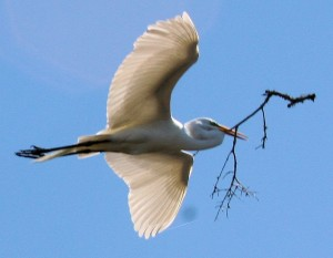 Great Egrets Part of Wild Wading Birds in Florida