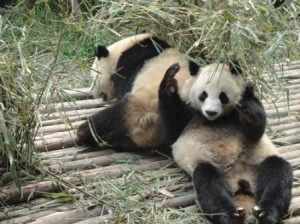 Young pandas pose for the cameras (Ann Burnett)