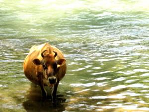 A Sacred Cow