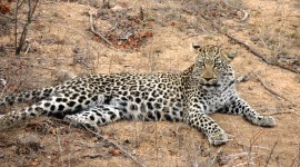 The leopard rests after a good meal (photo credit and copyright Ann Burnett)