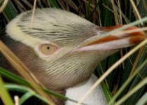 Yellow-eyed penguin in nest (Courtesy Yellow-eyed Penguin Trust)
