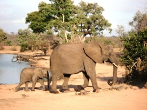 An elephant and her calf (Ann Burnett)