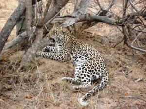 The leopard has eaten her fill (Ann Burnett)