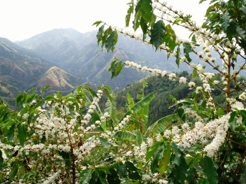 Blue Mountain coffee in bloom.