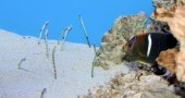 Garden Eels and King Angelfish
