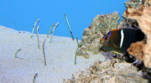 Garden Eels and King Angelfish