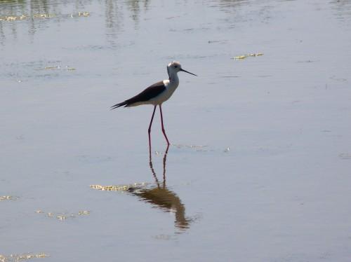Black-winged Stilt (photo: Anthony Toole)