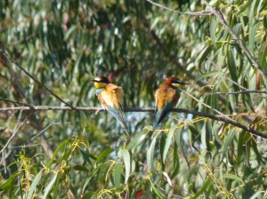 Bee Eaters (photo: Anthony Toole)