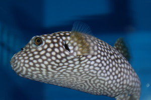 Spotted Sharpnosed Puffer Fish