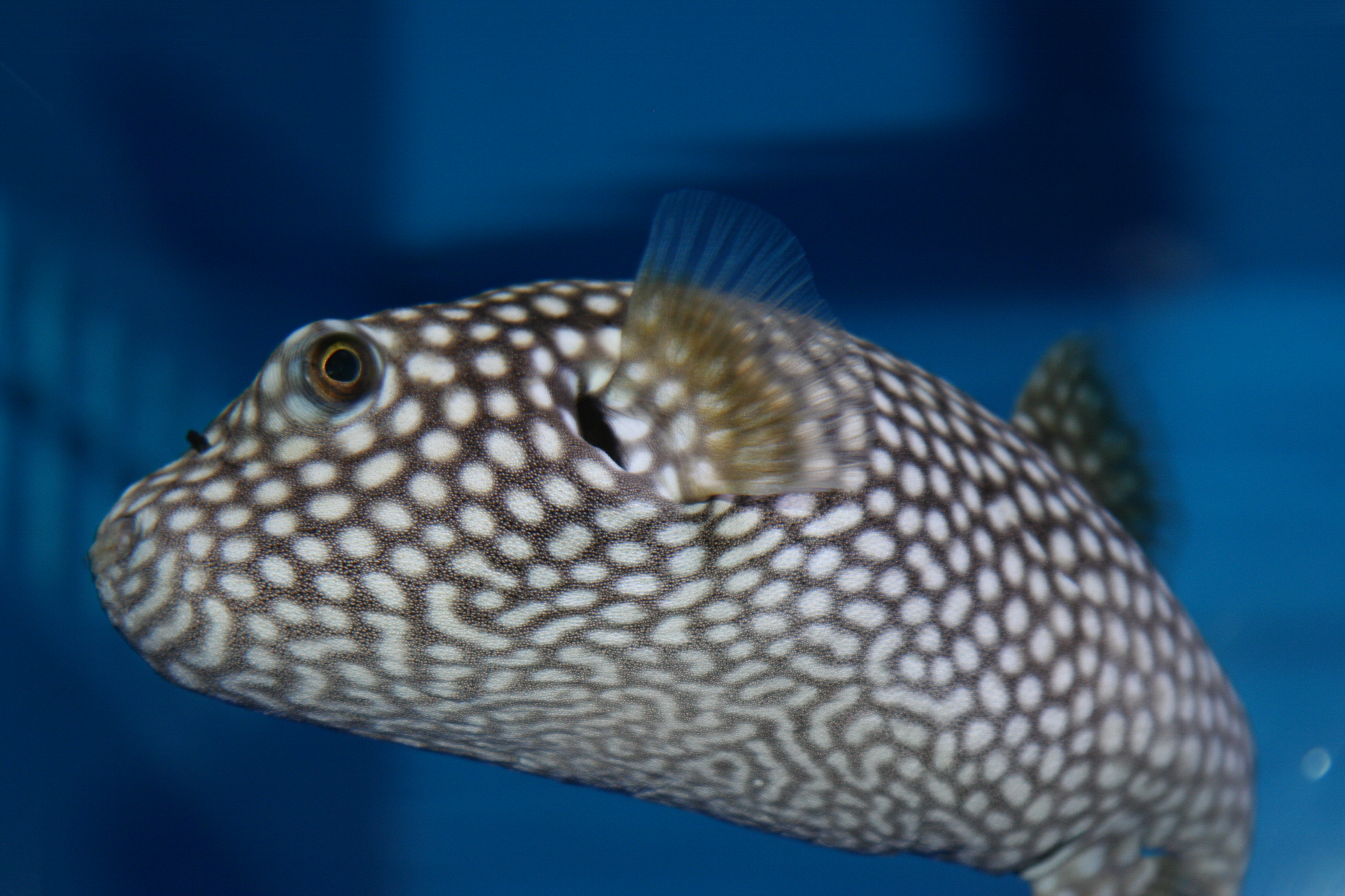 Finding water at the arizona sonora desert museum aquarium for Puffer fish florida