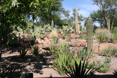 Mescal Bean Tree and Cactus