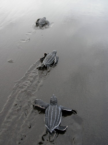 Leatherback hatchlings