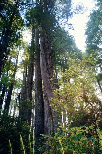 Redwood trees show nature's artistry (Photo: MCArnott)