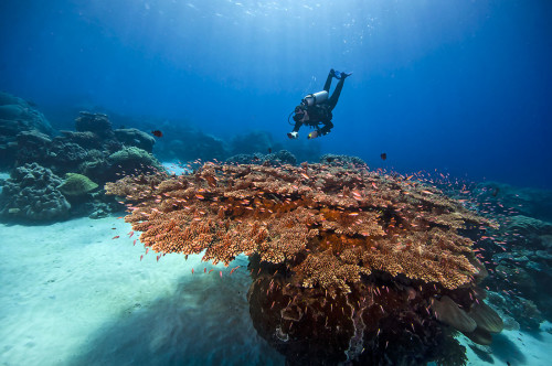 Photo by Tim Rock/Kosrae Nautilus Resort. Diver inspects one of the many coral heads at Hiroshi Point. Kosrae, Micronesia.