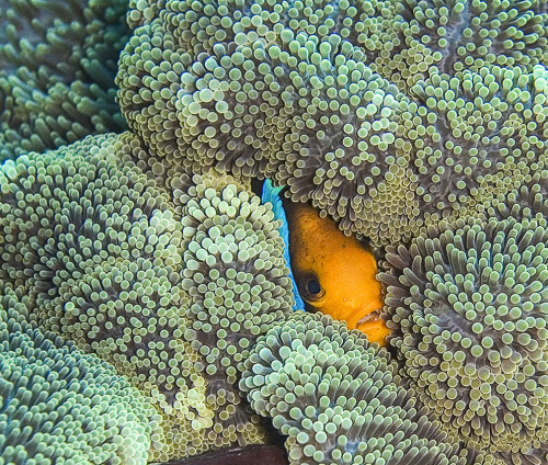 Orange Fin Anemone Fish peeks out from large Carpet Anemone. Kosrae, Federated States of Micronesia (FSM). Photo by Katrina Adams