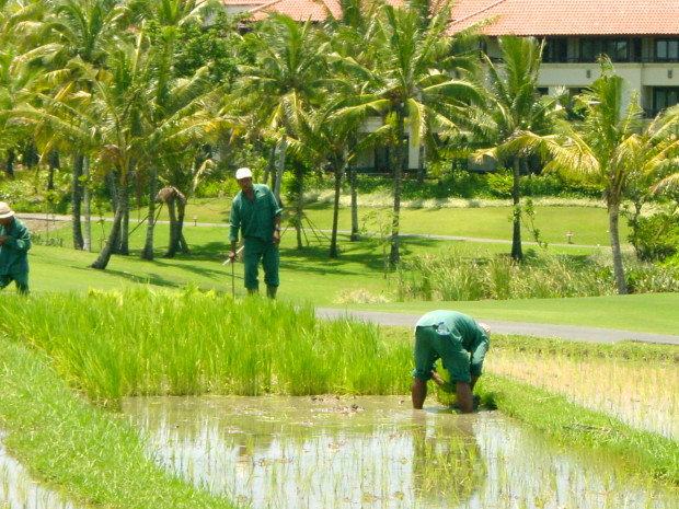 Bali cultural landscape of the rice paddies and their ancient irrigation system are a World Heritage designation (Photo credit: MCArnott)