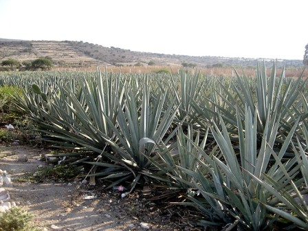 Maguey Agave Plants in the Oaxacan Desert (courtesy of Emma Gallagher)