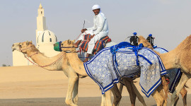 Camels being taken to a track for race training in Dubai, UAE. The small objects on some camel's backs are robot jockeys that are radio controlled. Camels are not strong enough to race with heavy weights. In earlier times, small children were used as jockeys but when laws were passed prohibiting this practice, the children were replaced with the five pound robots. Photo by Yvette Cardozo