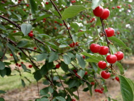 Cherries ripe for the pickin' at Seaquist Orchards in Door County