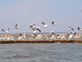White pelicans at Nebraska's Harlan County Reservoir