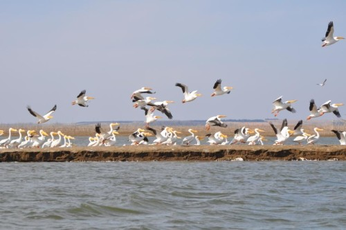 White pelicans at Nebraska's Harlan County Reservoir