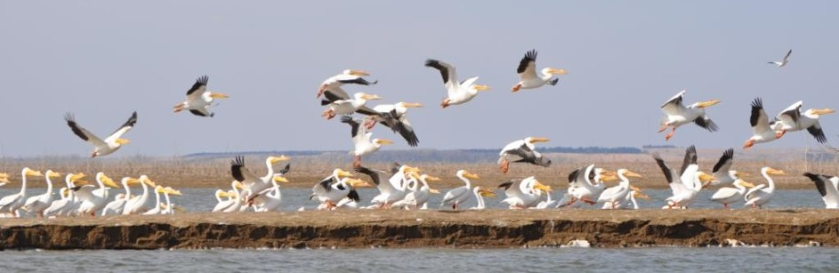 Birdwatching in Nebraska: The Pelicans of Harlan County